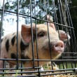 Piglet in cage - Stock Photo
