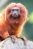Golden Lion Tamarin monkey perched on lo — Stock Photo