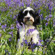 Royalty-Free Stock Photo: Cute dog in a field of bluebells