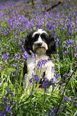 Cute dog in a field of bluebells — Stock Photo