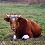 Bull — Stock Photo