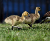 Baby Geese — Stock Photo