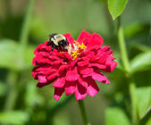 A bumble bee feeds on a flower. — Stock Photo