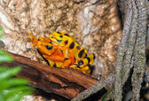 A mating pair of poisonous frogs — Stockfoto