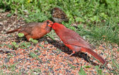 Male cardinal feeding a female cardinal — Stock Photo
