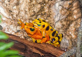 A mating pair of poisonous toads — Foto Stock