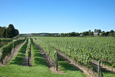 A Vineyard on Long Island — Stock Photo
