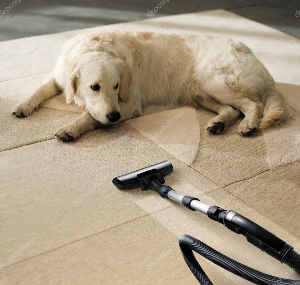 The dog lies on the beige carpet and looks at vacuum cleaner  Stock Photo #2283368