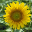 Sunflower — Stock Photo #2449859