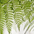 Stock Photo: Curtain of ferns