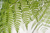 Curtain of ferns — Stock Photo