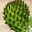 Opuntia — Stock Photo