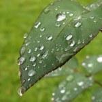 bir gül yaprağı üzerinde Waterdrops — Stok fotoğraf