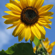 Sunflower against a blue sky — Stock Photo #2296195
