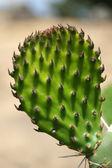 Opuntia — Stock Photo