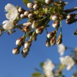 Cherry bloom — Stock Photo #2305661
