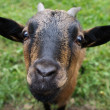 Curious goat — Stock Photo