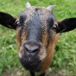 Stock Photo: Curious goat