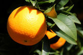 Orange on a tree — Stock Photo