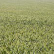 Stock Photo: Cultivated oats