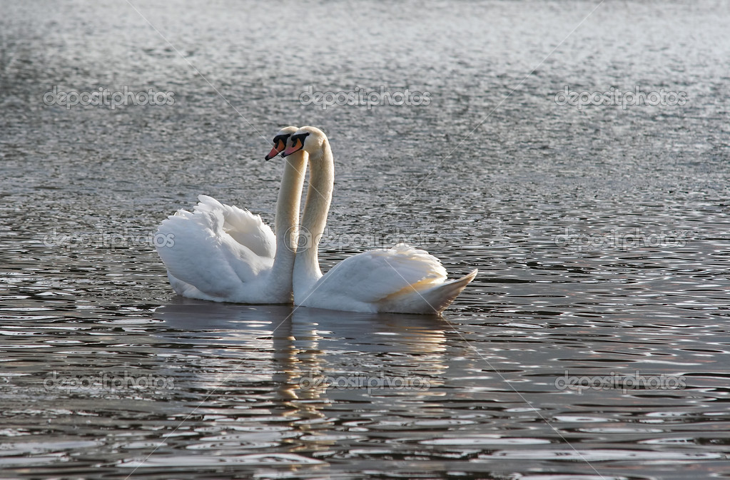 Shot of the swans on the river — Stock Photo #2259460