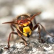 Mandibles of giant hornet — Stock Photo