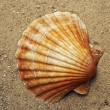 Shell on the sand — Stock Photo