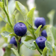 Blueberry shrubs — Stock Photo