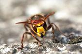 Mandibles of giant hornet — Stock Photo