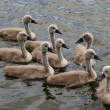 Squeakers - cygnets — Stock Photo