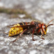 Giant hornet — Stock Photo #2288386