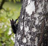 Boomer on the birch tree — Stock Photo