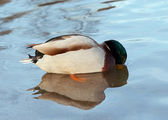 Mallard - wild duck - diver — Stock Photo