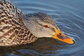 Shot of the wild duck — Stock Photo