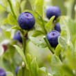 Stock Photo: Blueberry shrubs