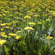 Stock Photo: Yellow meadow - ablaze with dandelions