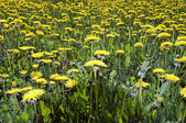 Yellow meadow - ablaze with dandelions — Stock Photo