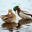 Pair of wild duck — Stock Photo