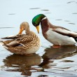 Stock Photo: Pair of wild duck