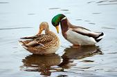 Pair of wild duck — Stock Photo
