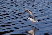 Shot of the flying gull - laughing gull — Stock Photo