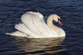 Cisne — Foto de Stock