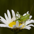 Grashopper on the daisy — Stock Photo