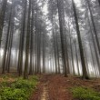 Stock Photo: Conifer forest in fog