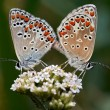 Butterflies - coupling — Stock Photo