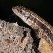 Close-up of the lizard — Stock Photo