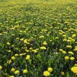 Stock Photo: Yellow meadow - ablaze with flowers