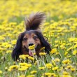 Take smell at dandelion — Stock Photo #2566031