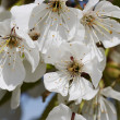 Flowering cherry tree — Stock Photo