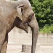 Stock Photo: Asiatic elephant